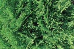 Tui κλάδοι, φυτικό πράσινο υπόβαθρο, φως του ήλιου στοκ εικόνες