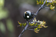 Tui πουλί Στοκ εικόνες με δικαίωμα ελεύθερης χρήσης