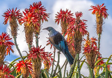 Tui πουλί Στοκ φωτογραφία με δικαίωμα ελεύθερης χρήσης