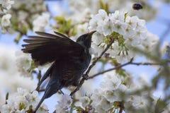 Tui в вишневом дереве Стоковые Изображения