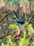 Tui в дереве Стоковые Изображения