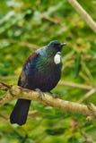 Tui -从新西兰的美丽的鸟 免版税库存照片