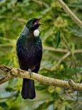 Tui -从新西兰的美丽的鸟 免版税库存图片