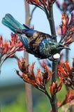 Tui -新西兰的鸟 免版税图库摄影
