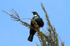 Tui bird Royalty Free Stock Image