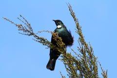 Tui bird. Native New Zealand bird Tui Royalty Free Stock Image