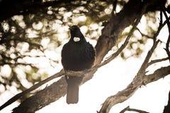 Tui Bird foto de stock royalty free