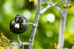 Tui Bird Image stock