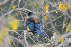 Tui Bird Immagine Stock