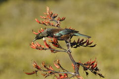 Tui bird feeding on a flax plant Stock Photography