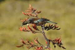 Tui bird feeding on a flax plant Stock Photography