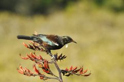 Tui bird feeding on a flax plant Stock Images