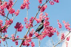 Tui bird feeding on nectar from cherry blossom. Against blue sky royalty free stock images