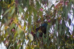 Tui bird hidden in tree stock image