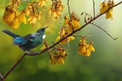 Free Tui Bird Kowhai Tree Flowers New Zealand Native Stock Photos - 158894693