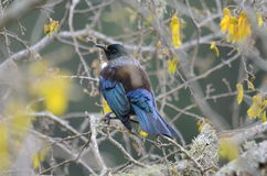 Tui Bird Stock Image