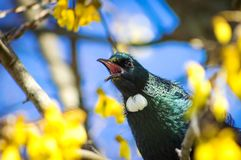 A Tui bird on a Kowhai Tree in New Zealand. The tui Prosthemadera novaeseelandiae is an endemic passerine bird of New Zealand, and the only species in the genus Stock Photo