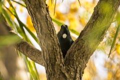 Tui Bird Stock Images