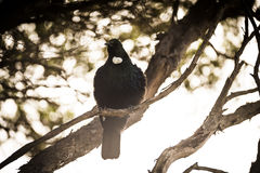 Tui Bird royalty free stock photo