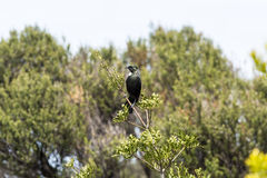 Tui Bird Stock Photography