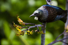 Tui Bird Stock Images