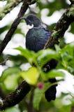 Tui Bird, New Zealand. Native New Zealand bird Tui sitting on a branch of a berry tree Stock Photos