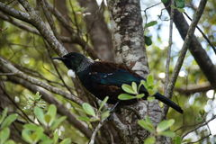 Tui bird Royalty Free Stock Photography