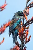 Tui -  Bird of New Zealand Stock Images