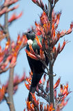 Tui -  Bird of New Zealand Royalty Free Stock Photography