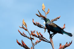 Tui -  Bird of New Zealand Royalty Free Stock Photos
