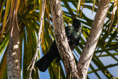 Tui bird resting on tree branch Stock Photos