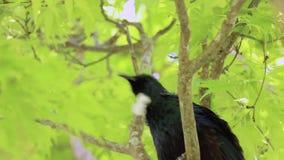 Tui New Zealand bird singing. Tui bird singing in green maple trees stock video footage