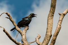 Tui bird singing on tree branch Royalty Free Stock Photos