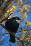 Tui bird Stock Image