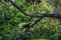 Tui bird on tree branch. New Zealand Tui bird on tree branch Royalty Free Stock Photography