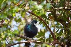 Tui bird in the trees Stock Images