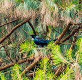 Tui in a tree Royalty Free Stock Photo