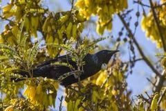 Tui en el árbol de Kowhai Foto de archivo libre de regalías