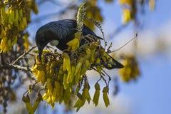 Tui en el árbol de Kowhai Imagen de archivo libre de regalías