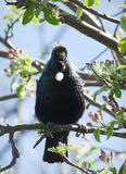 Tui Royalty Free Stock Images