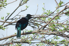 Tui Royalty Free Stock Image