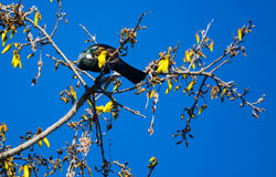 Tui Feeding Stock Photo