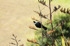 Tui in Flax Royalty Free Stock Photos