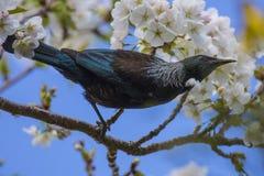 Tui i körsbärsrött träd Arkivbilder