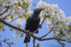 Tui in Kersenboom Royalty-vrije Stock Fotografie