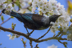 Tui in Kersenboom Stock Fotografie