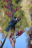 Tui Royalty Free Stock Photo
