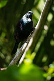 Tui - native New Zealand bird Royalty Free Stock Photo