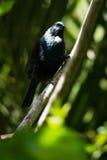 Tui - native New Zealand bird Royalty Free Stock Photo