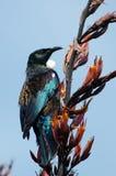 Tui - oiseau du Nouvelle-Zélande photographie stock